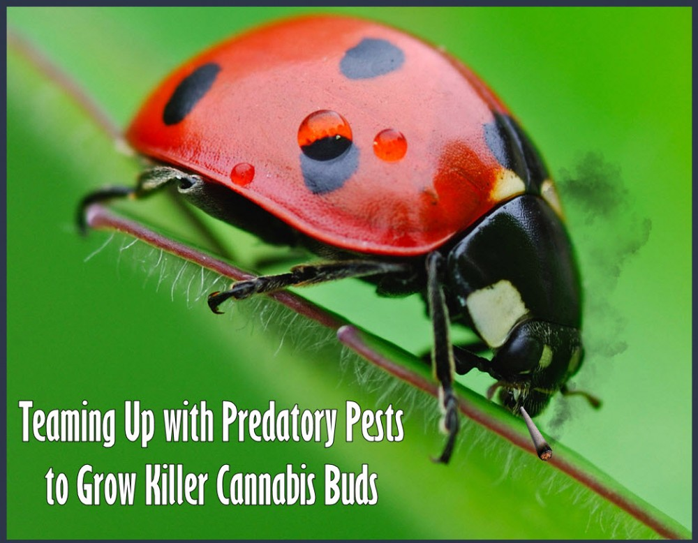 LADYBUGS AND MARIJUANA GROWS