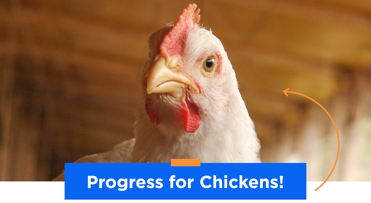 Progress For Chickens
