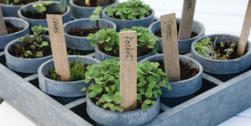 Herbs growing in small gray planters - Image
