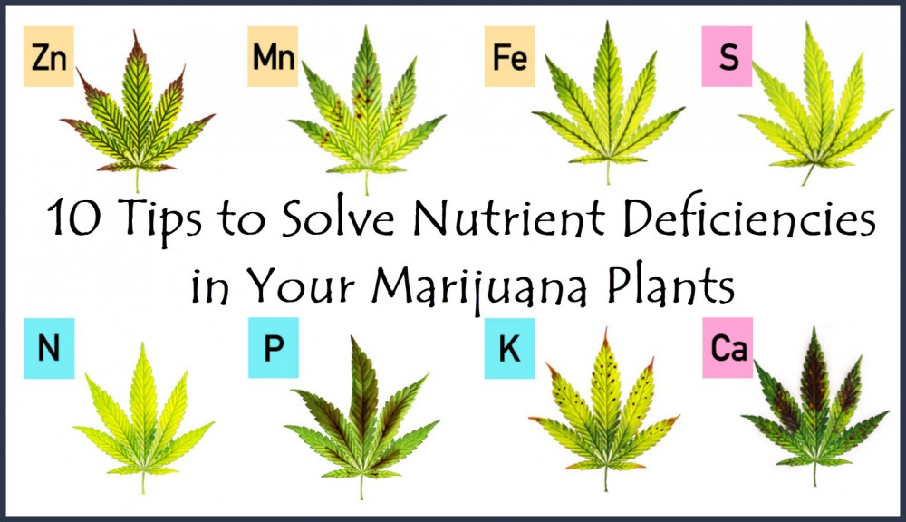 NUTRIENT DEFICIENCIES IN THE MARIJUANA PLANTS
