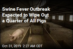 Swine Fever Outbreak Expected to Wipe Out a Quarter of All Pigs