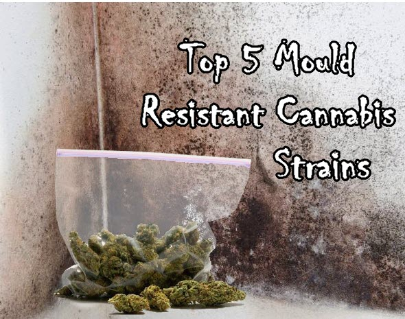 MOLD RESISTANT CANNABIS