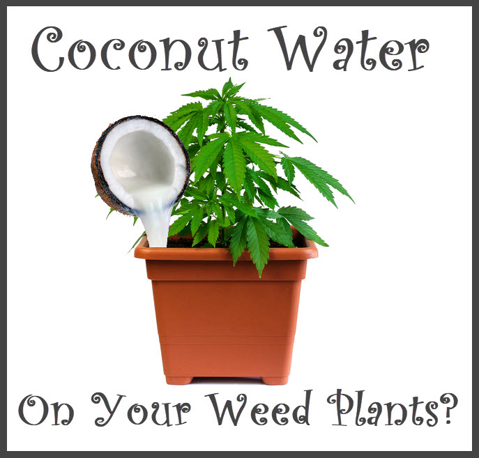 CANNABIS COCONUT WATER