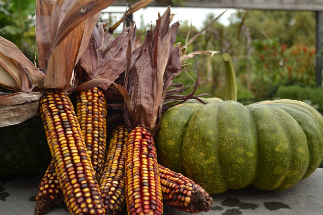 Fall harvest with pumpkins and corn.