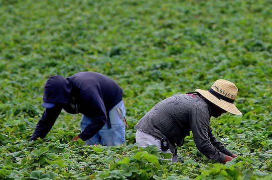 Two people with their heads and faces covered bend over to tend to crops in a large field.