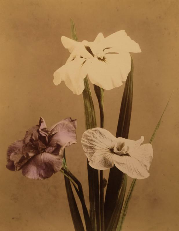 Unidentified Photographer<br>Orchid (Miltonia), c. 1880's Vintage Hand Colored Albumen Print