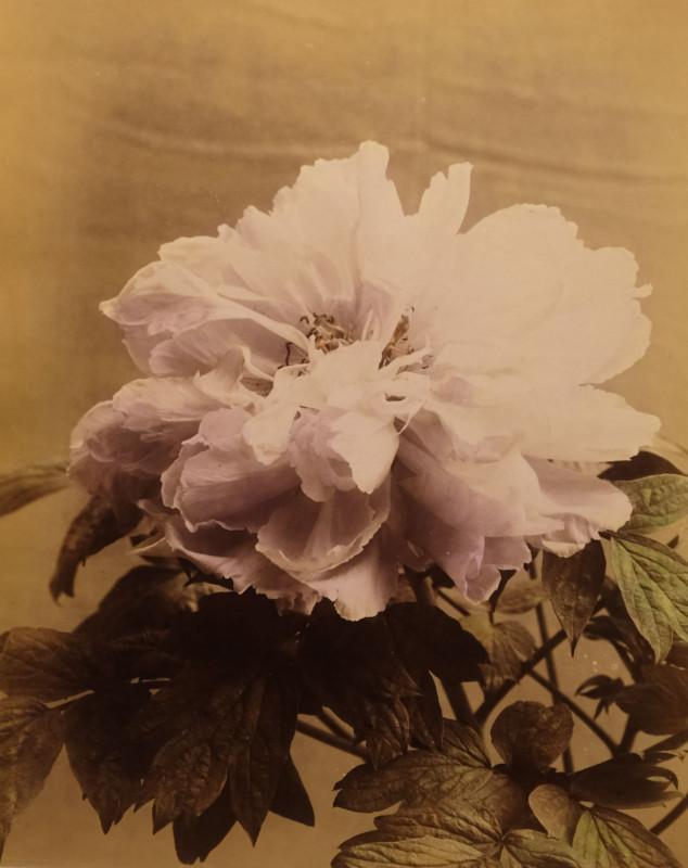 Unidentified Photographer<br>Peony, c. 1880's<br>Vintage Hand Colored Albumen Print