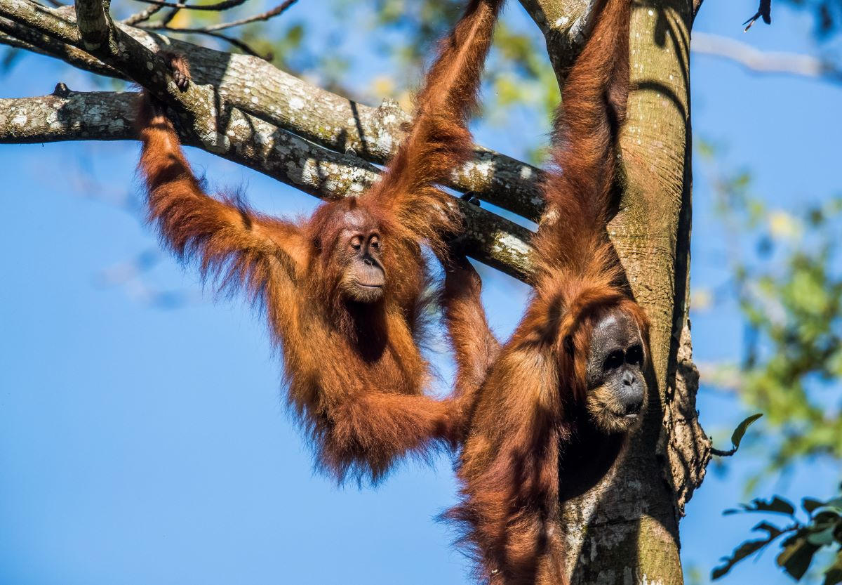 Two orangutans hang from tree