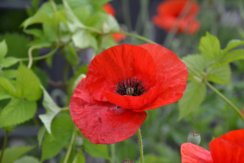 Close up of red poppy flower and green leaves