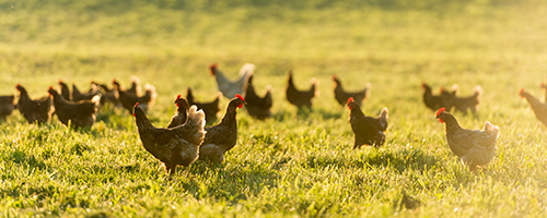Free to Forage Hens