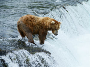 Bear in water fishing for fish