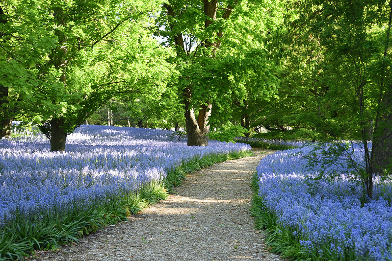 Field of bluebells with path and large trees