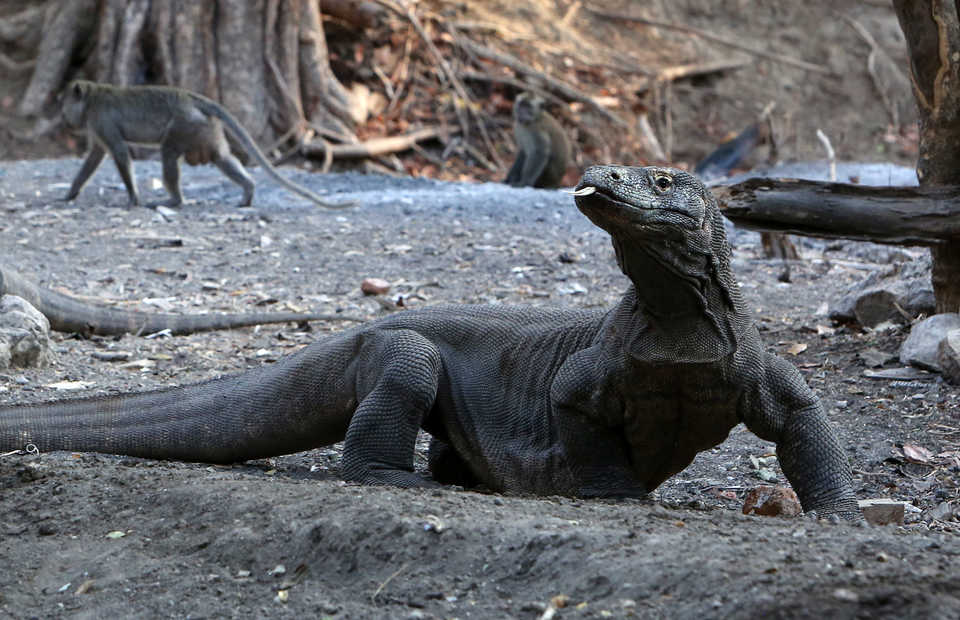 A Komodo dragon raises his head as a monkey walks pass behind it on Rinca Islad, East Nusa Tenggara, on Oct. 14, 2018. (B1 Photo/Uthan A. Rachim)