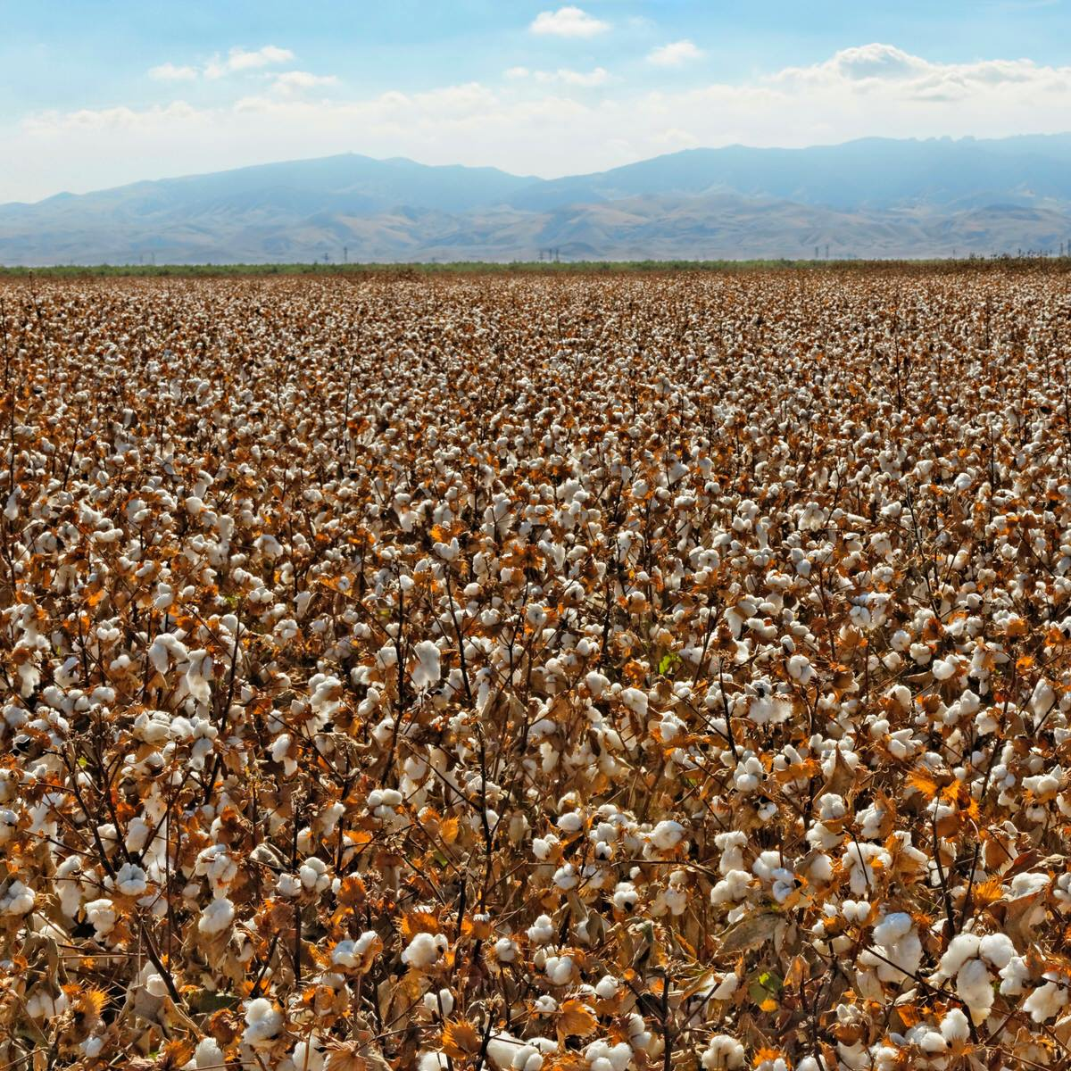 cotton grown on california farms