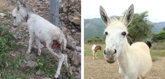 Left: Photo of Amelia as a foal with a large wound on her thigh. Right: Photo of Amelia today, looking into the camera as she stands in a clearing in the Nilgiri Hills.