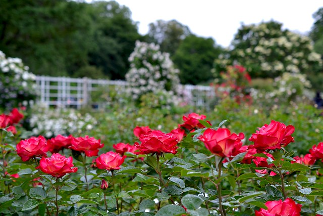 Red roses blooming in a garden