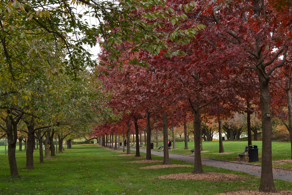 Rows of trees with fall foliage