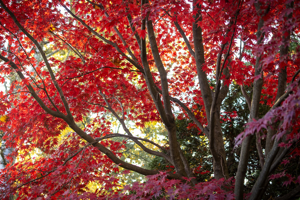 Tree with red leaves during autumn.