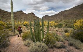 A man walks among cactus plants and yellow flowers inside the Organ Pipe Cactus National Monument in Arizona.