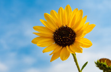 Chesterfield's Still Blooming with new sunflower competition