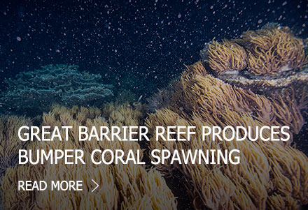 Great Barrier Reef produces bumper coral spawning