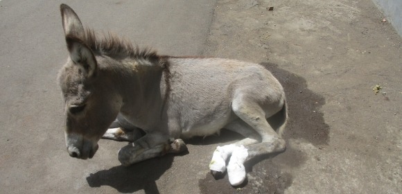 A donkey sits on the ground with bandages on both back legs and hooves.