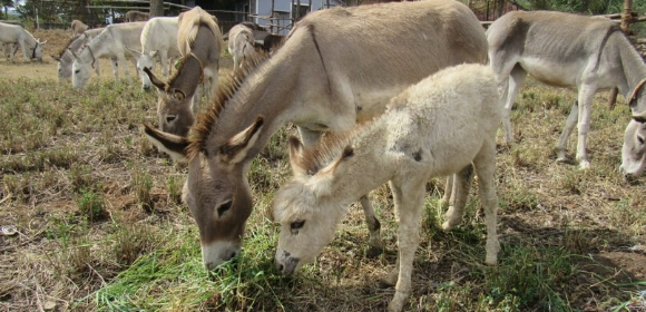 A mother donkey and her foal graze at their sanctuary home in the Nilgiri Hills.