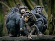 Szympansy maj? czystsze ?ó?ka ni? ludzie
