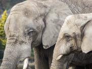 Zestresowane slonie w warszawskim zoo otrzymaja medyczna marihuane