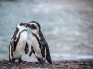 Homoseksualne pingwiny ukradły jajka parze pingwinów- lesbijek