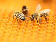 Odchody uchronią pszczoły przed morderczymi szerszeniami