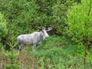 Kanada zszokowana zabiciem rzadkiego białego łosia