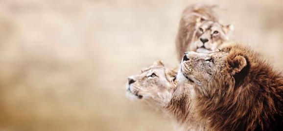 lion tribe