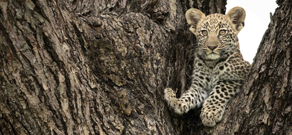 leopard cub in tree