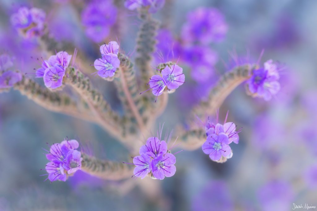 Sarah Marino Death Valley Purple Phacelia 1200px Watermark