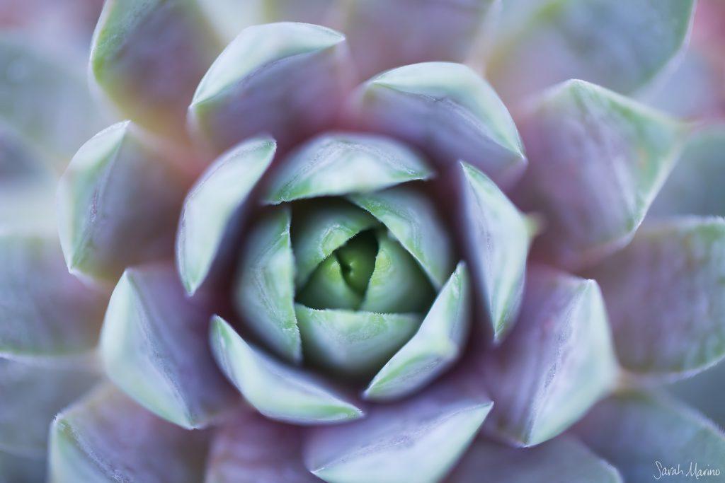 Spring Succulent