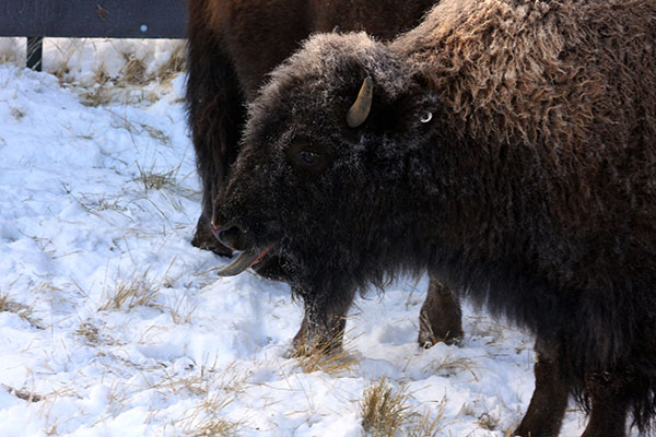 plains bison in the snow