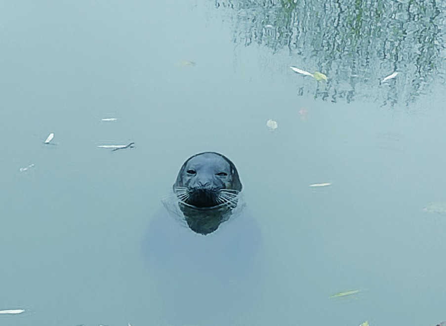 Seal spotted in River Nene Image - (Photo Credit Peter Foster)