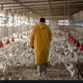 Chicken Farmers Suffer Losses Amid Surplus Production