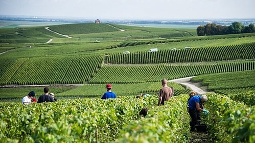 How Champagne Producers are Preserving Acidity as the Climate Changes