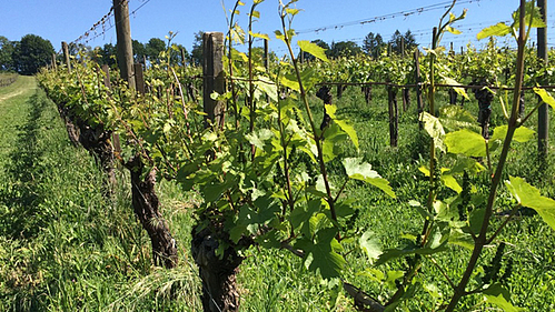 Examining the Effects of Vine Vigor on Grapes